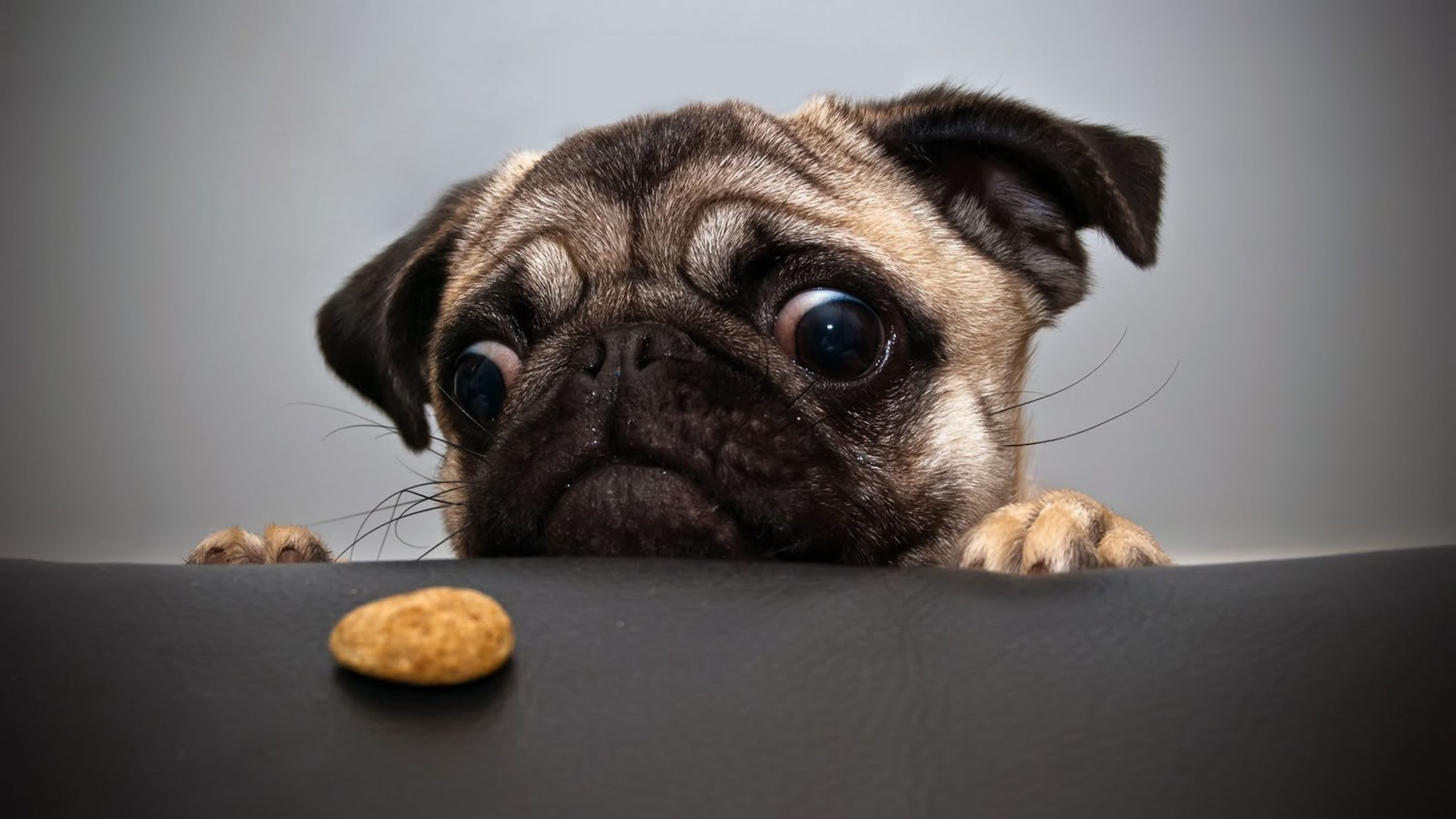 A dog focusing on a dog biscuit lying on a table in front of him